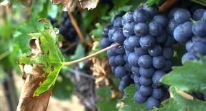 L'Uva dell'Etna