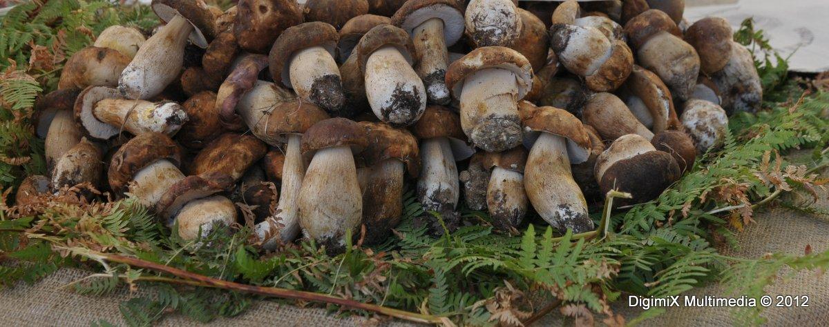 Funghi dell'Etna